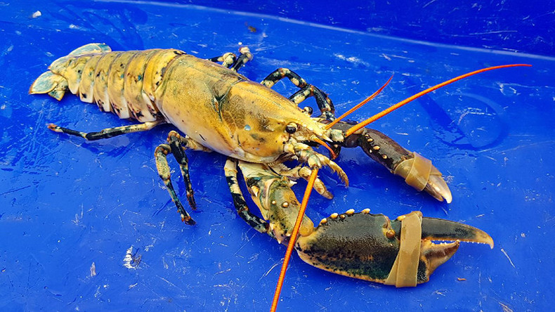 Shell-dorado: Extremely rare gold-colored lobster pulled from sea off Northern France