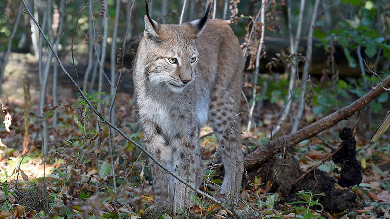 Purr-fect getaway? Police have no idea how a lynx escaped from a Welsh wildlife park