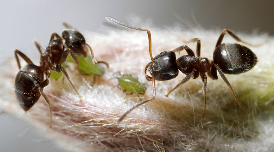 Ant queens' bizarre burial ritual helps prevent deadly disease contamination