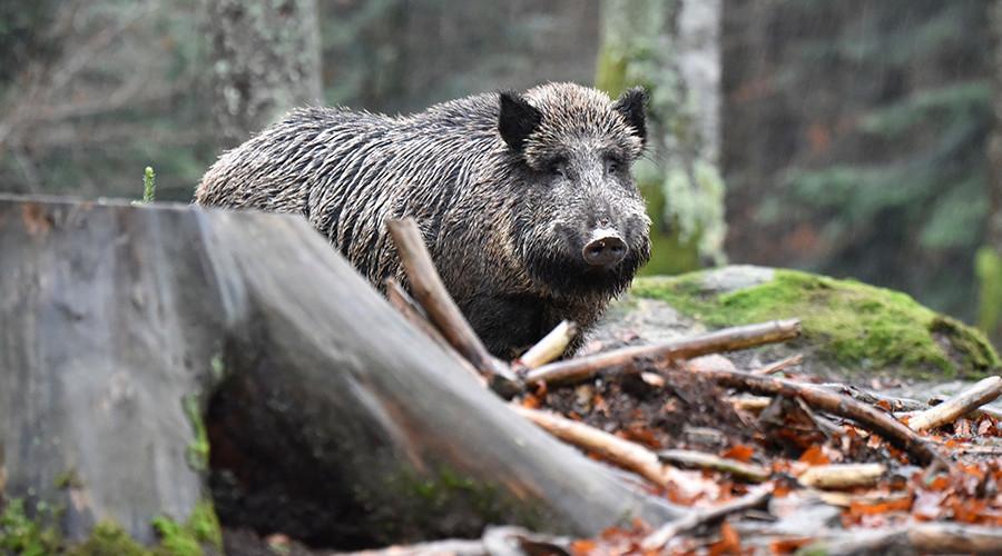 Rampaging wild boar sent to hog heaven after invading German bank (VIDEO)