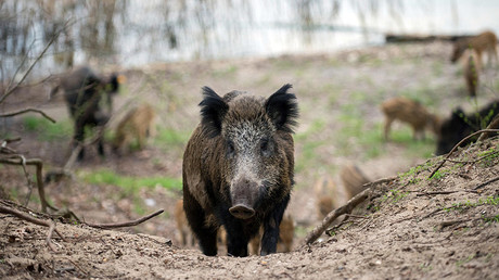 Rampaging wild boar sent to hog heaven after invading German bank (VIDEO)