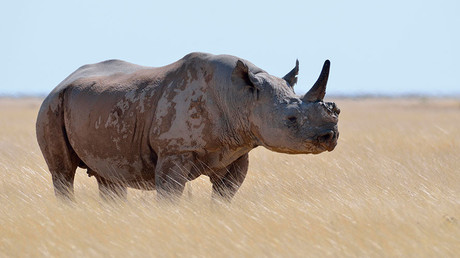'The Poacher, poached!': Rhino injures illegal hunter in Namibia