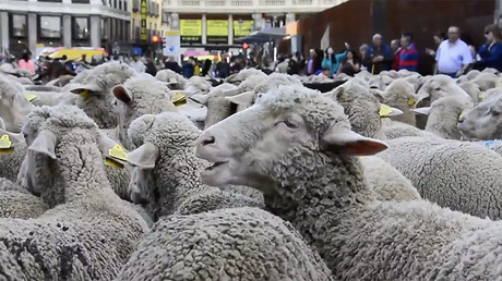 Thousands of sheep flock to Madrid to celebrate grazing tradition