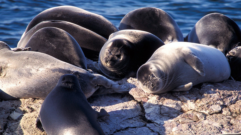 Mysterious mass death of Baikal earless seals puzzles scientists (VIDEO)