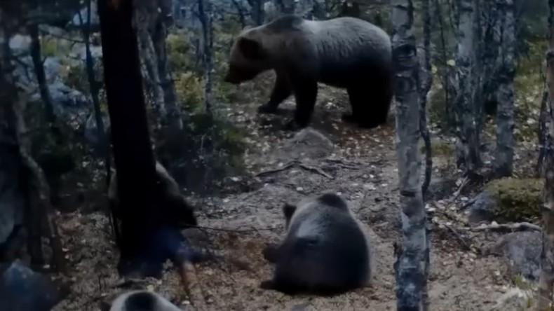 Secret life of bears: Hidden cameras capture 'vicious' mother & 3 cubs roaming woods (VIDEO)