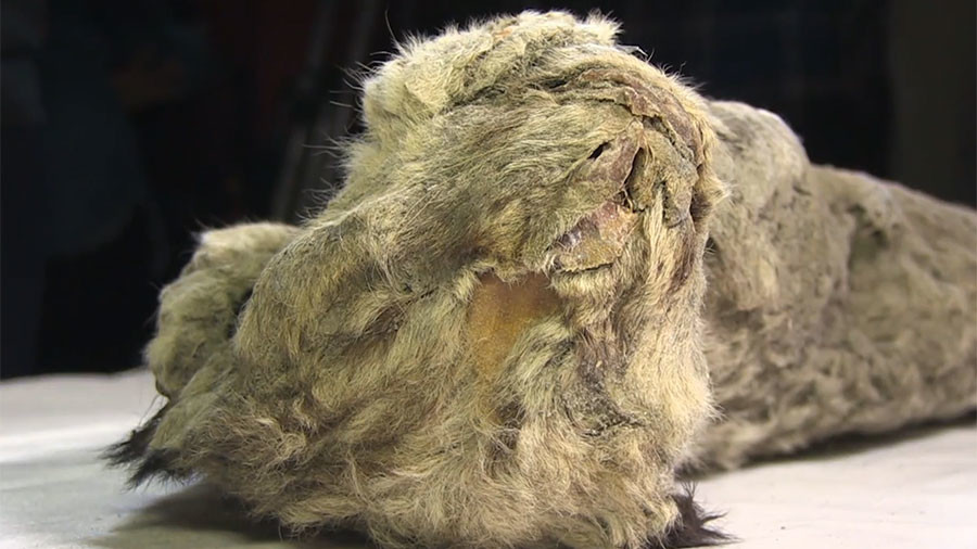 Russian scientists mull cloning cave lion after unveiling perfectly preserved cub (VIDEO)