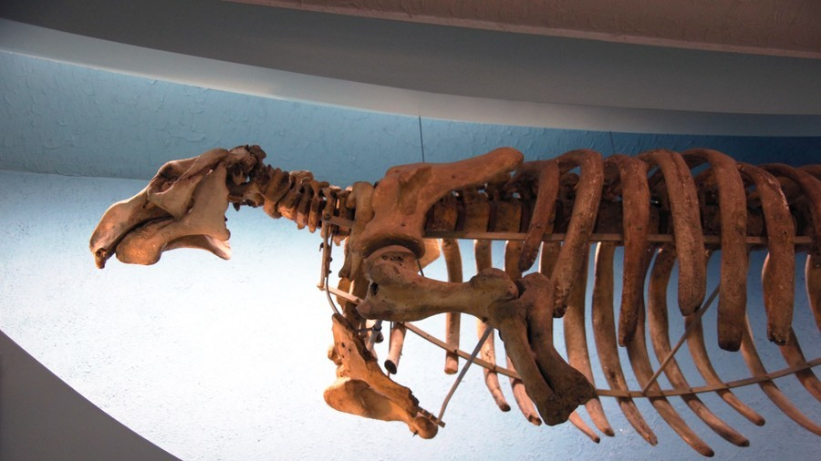 Extinct giant sea cow discovered on Russian beach (PHOTOS)