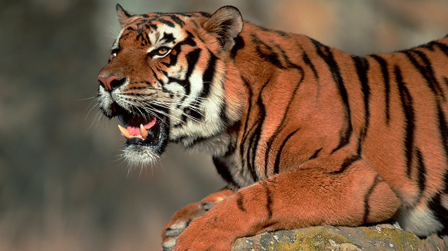 Tiger shot dead in Paris after roaming streets