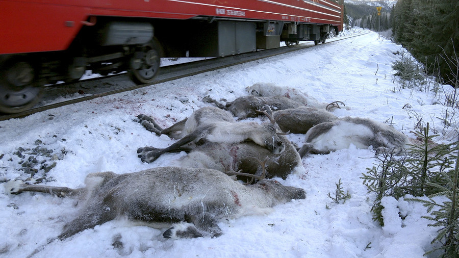'Bloodbath': Freight trains mow down 106 reindeer in 4 days (GRAPHIC PHOTO)