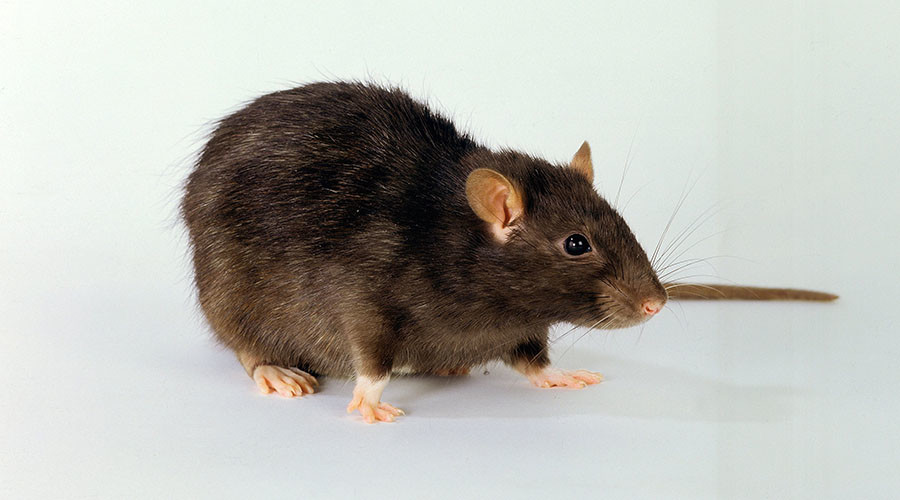 Deodor-rat: Real-life Ratatouille showers like a human (VIDEO)