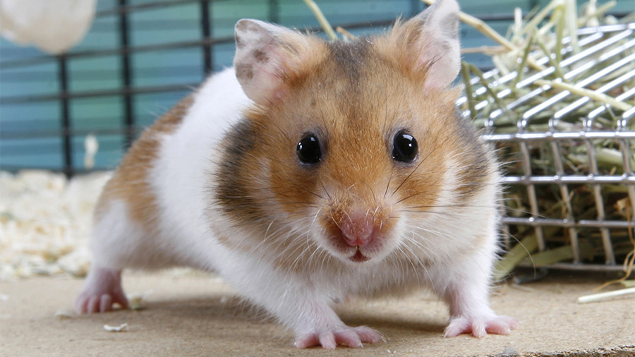 Robbing rodent: Girl-and-hamster gang suspected of several home burglaries in Russia