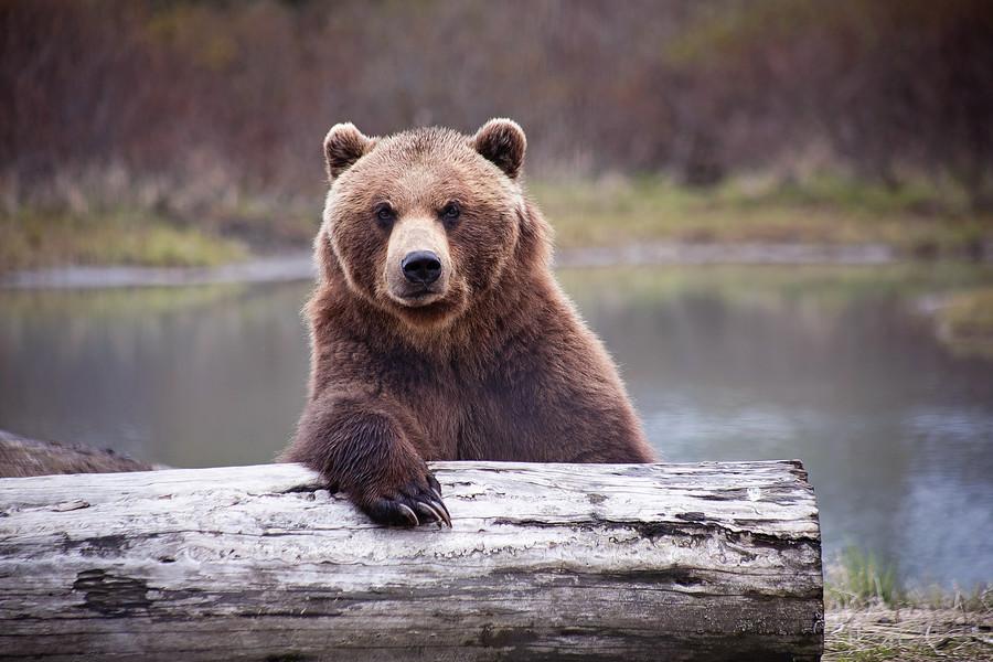 Man vs wild: Bear steals Siberian hunter's 2 guns from his cabin