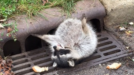 Chicago PD resort to backup to rescue fat raccoon trapped in sewer grate (PHOTOS, VIDEO)