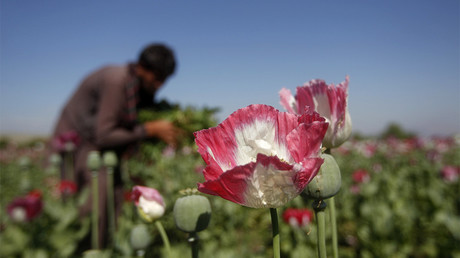 FILE PHOTO: An Afghan man works on a poppy field in Jalalabad province © Parwiz Parwiz