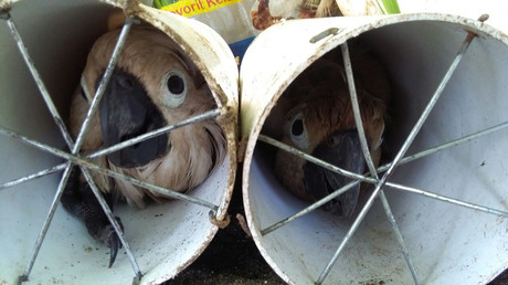 Indonesian smugglers stuffed exotic birds in drain pipes (PHOTOS)