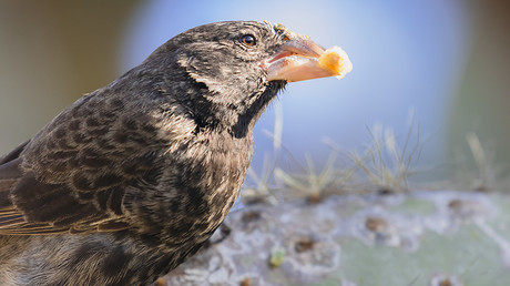 A large cactus finch (pictured) mated with a medium ground finch to create a new species © Andrew Peacock / Getty Images