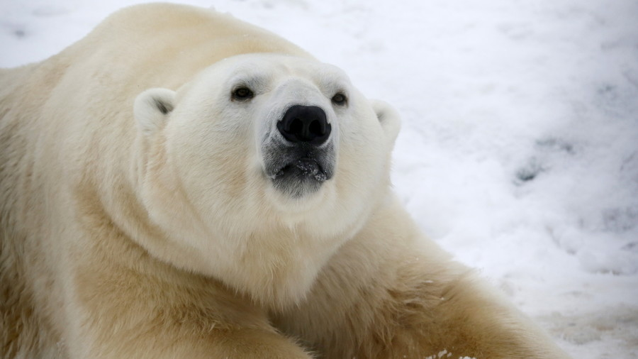 'Soul-crushing': Filmmaker captures 'slow, painful death' of starving polar bear (VIDEO)