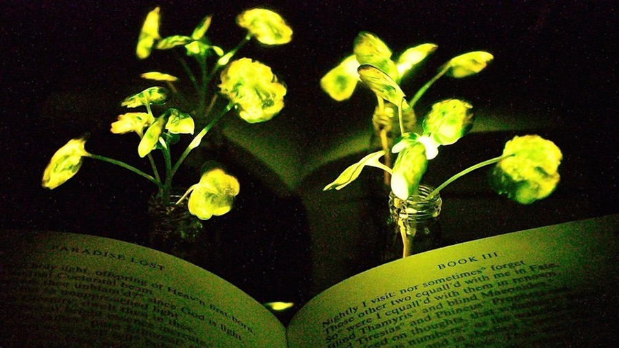 MIT engineers induce plants to give off light
