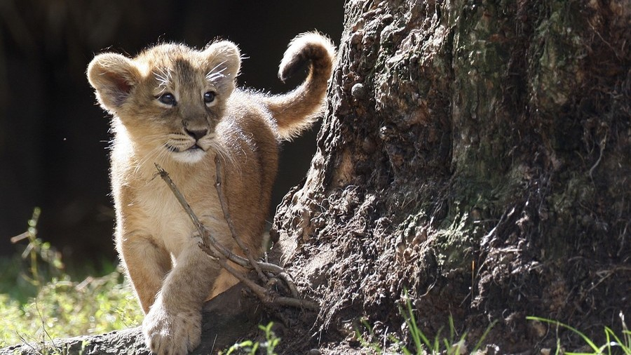 London Zoo's lions so inbred 2 out of 3 cubs dying – report