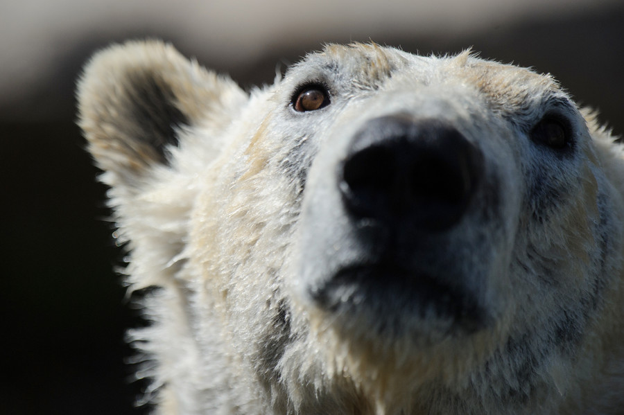 'Fake news' for a good cause? Viral polar bear video not what it seems