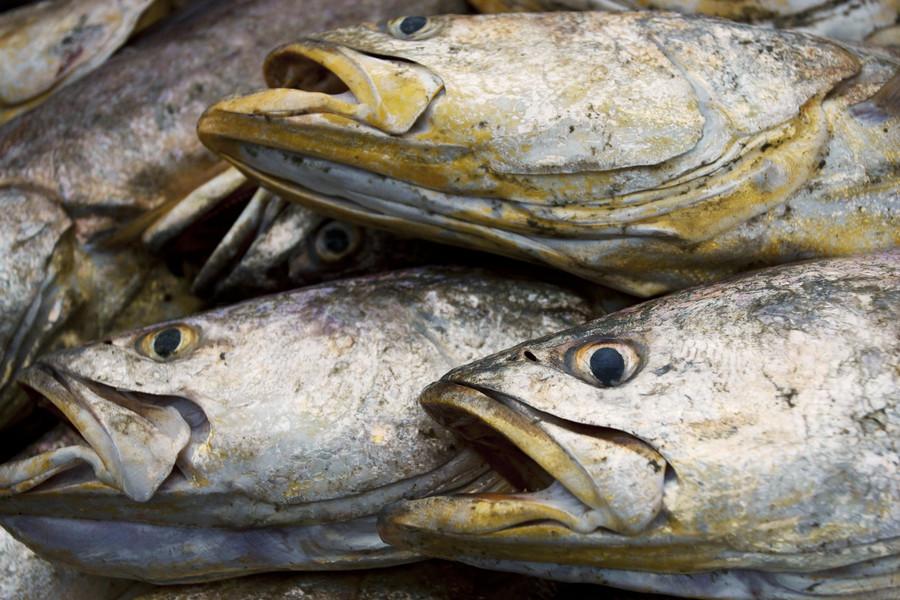 Self-loving fish that fertilizes own eggs baffles scientists
