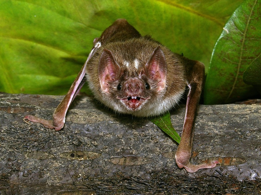 Vampire bats in Peru killing more cows than previously thought – study