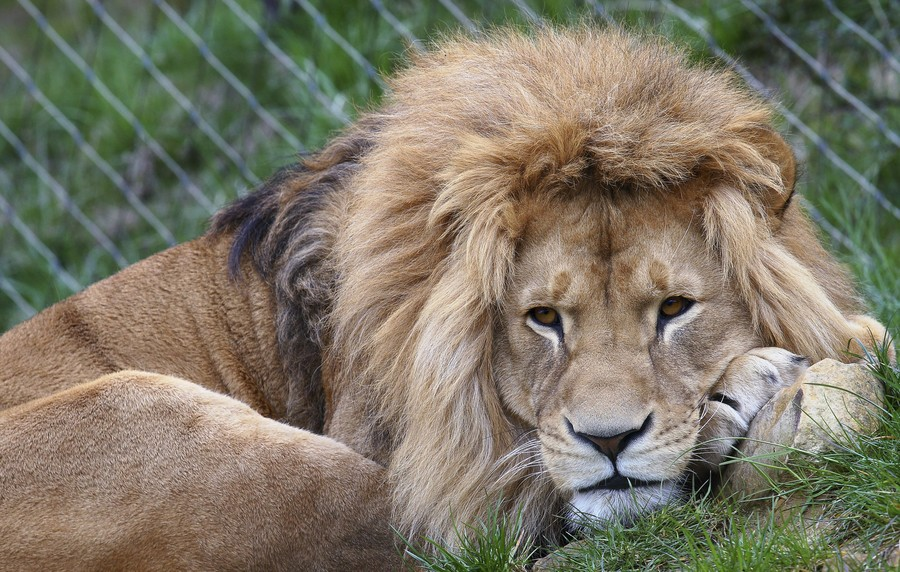 Danish zoos deny reports of feeding donated pets to lions