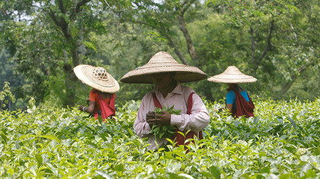Tea garden workers pluck tea leaves inside Durgabari Tea Estate on the outskirts of Agartala, India. © Jayanta Dey