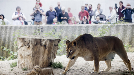 Feed 'em to the lions: Danish zoos reportedly let hungry predators eat visitors' pets