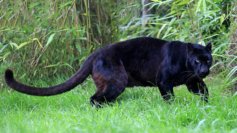 Panther Attacking Animal Panther rips ou...