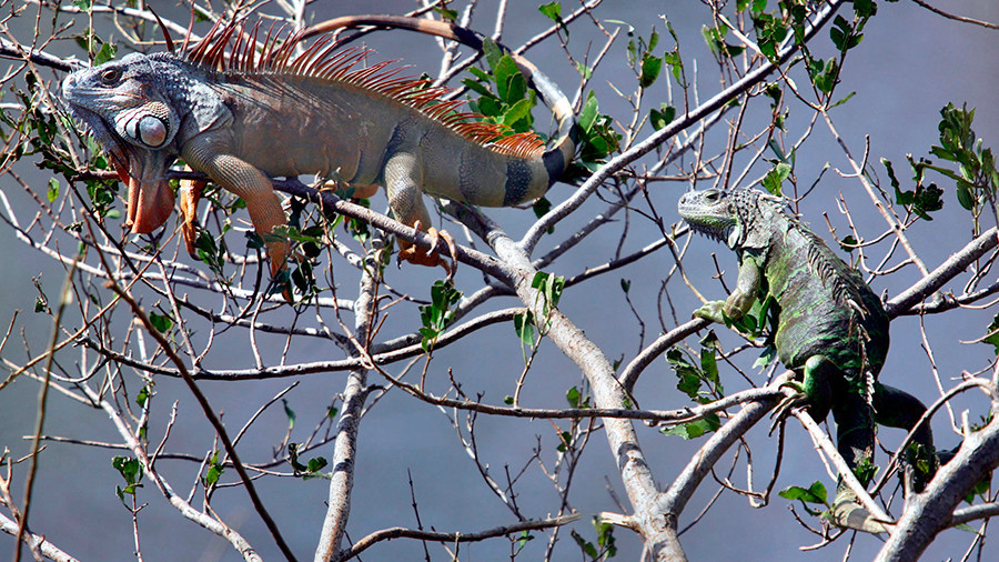 Iggy popsicle: Freezing iguanas fall from trees in Florida (PHOTOS)