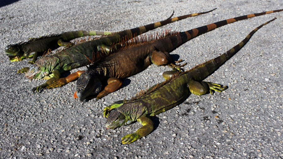 Frigid weather causes South Florida iguanas to fall from trees