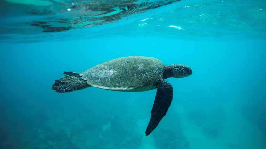 Shellshock: Sea turtle population on Great Barrier Reef 'turning female'