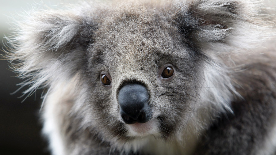 Hunt for 'evil' culprit after koala nailed to wooden post (PHOTO)