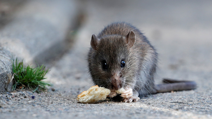 Severity of Paris rat infestation captured in horrifying footage