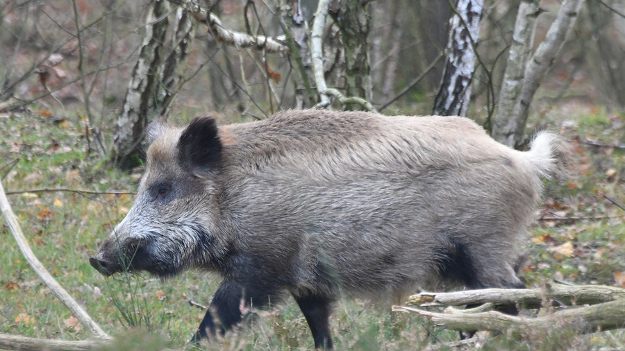 Record levels of radiation found in Swedish wild boar 32yrs after Chernobyl