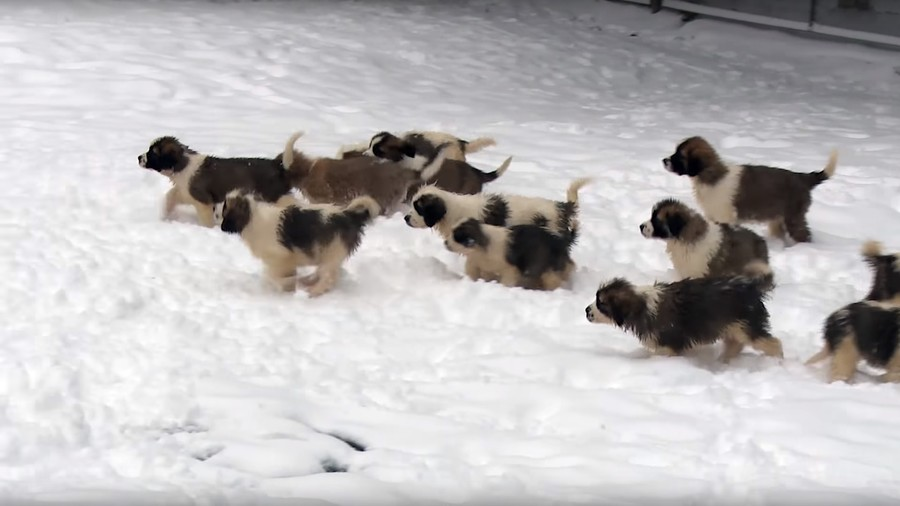 Waggy New Year! Russian MoD lets loose the dogs of war (VIDEO)