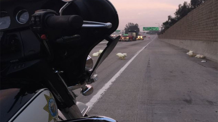 Fowl play: Cops called as chickens run wild on LA freeway (VIDEO, PHOTOS)