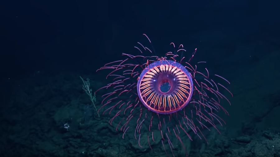 WATCH: Jellyfish looks like underwater firework in rare footage