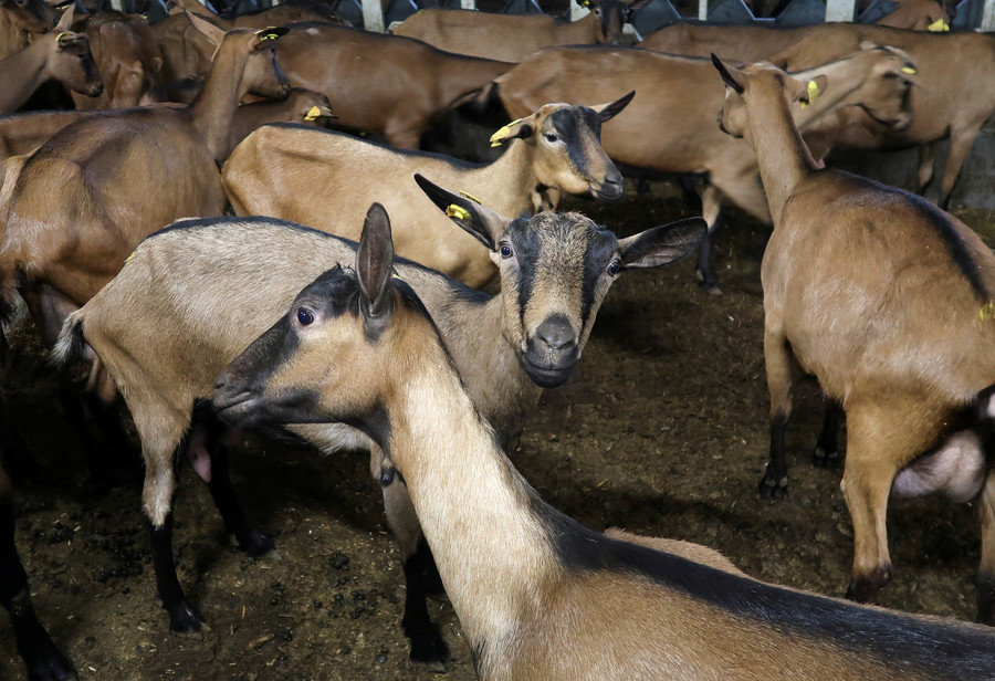 26 sheep, 10 goats & ship's captain: Unsolvable math problem puzzles Chinese students