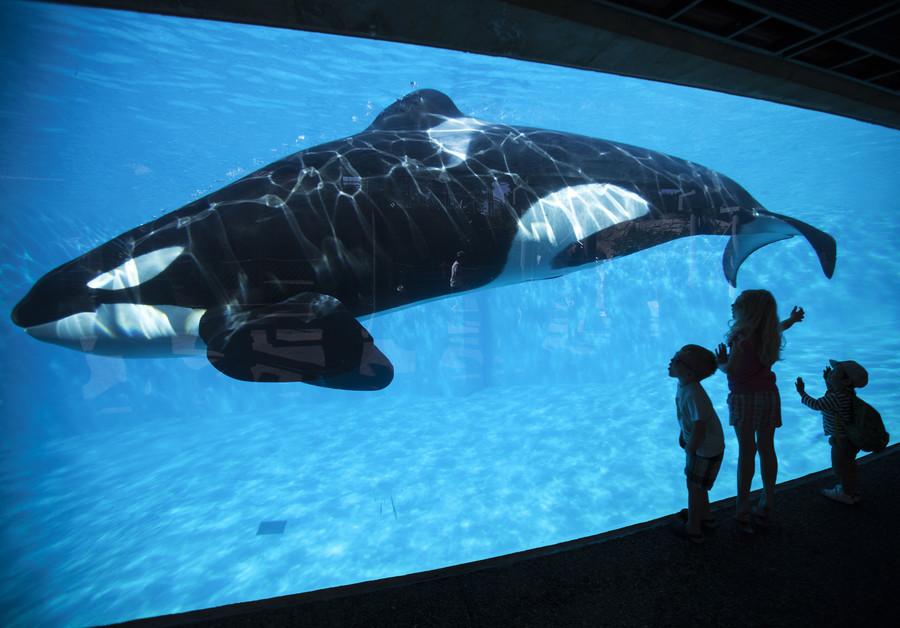 Killer whale 'repeats human speech' - study (AUDIO, POLL)