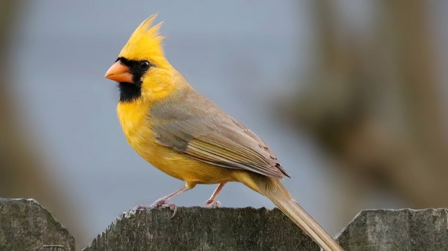 Rare '1-in-a-million' Yellow Cardinal spotted in Alabama (PHOTOS)
