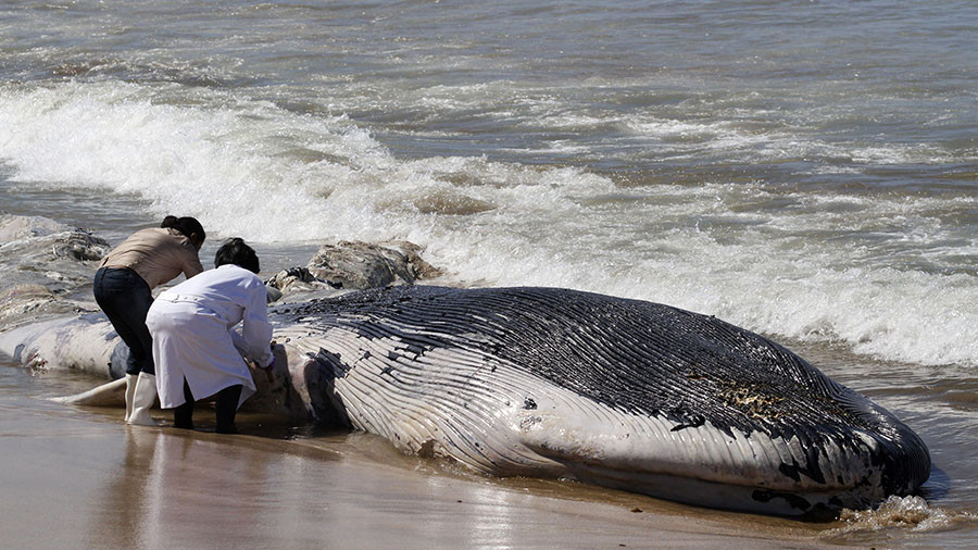 NOAA fisheries open investigation into minke whale deaths