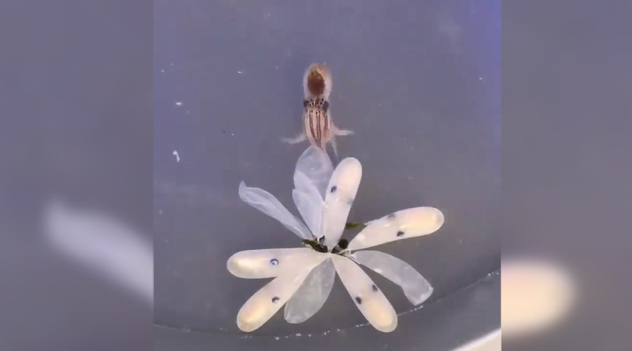 Octo-fuss: Internet goes wild for color-changing hatchling footage (VIDEO)