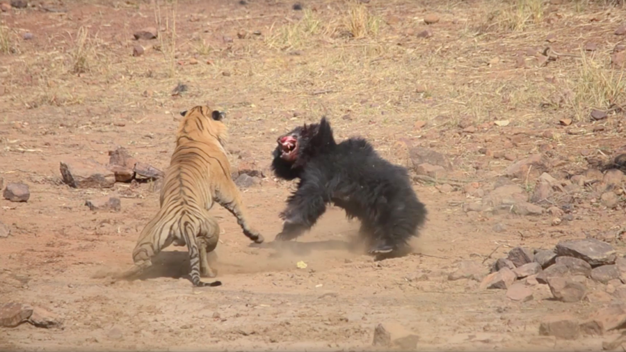 Tiger v bear: Violent safari scrap caught on camera