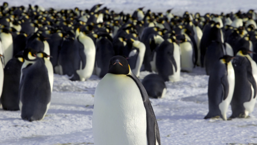 Bird's eye view: Penguins snap a selfie as polar explorer takes a hike (VIDEO)