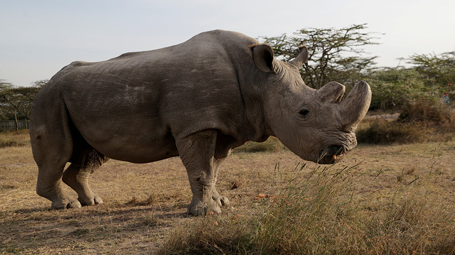 World's Last Male Northern White Rhino Dies In Kenya Conservancy