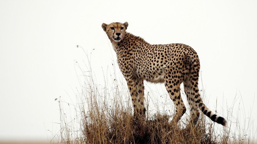 Stay calm! Tense moment cheetah jumps into tourist car in Tanzania