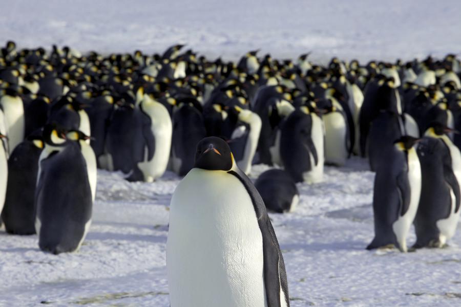 Bird's eye view: Penguins snap a selfie as polar explorer takes a hike (VIDEO)