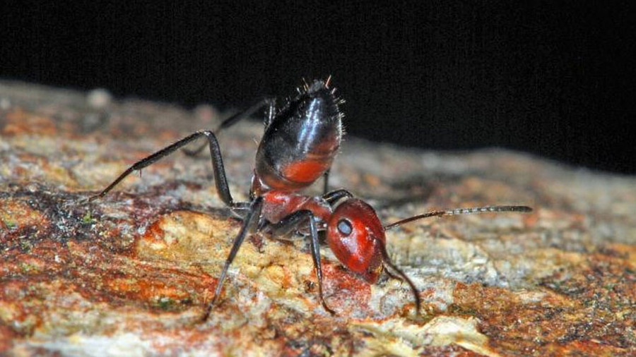 New 'exploding ant' species puts on a gory, goo-filled show